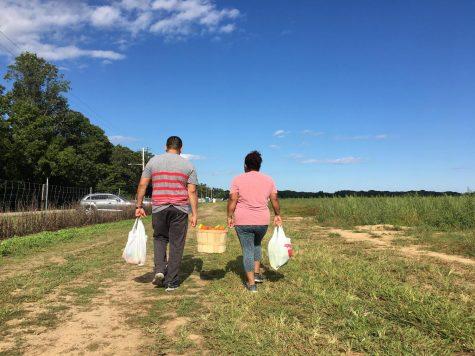 U-Picking at Lewin Farm