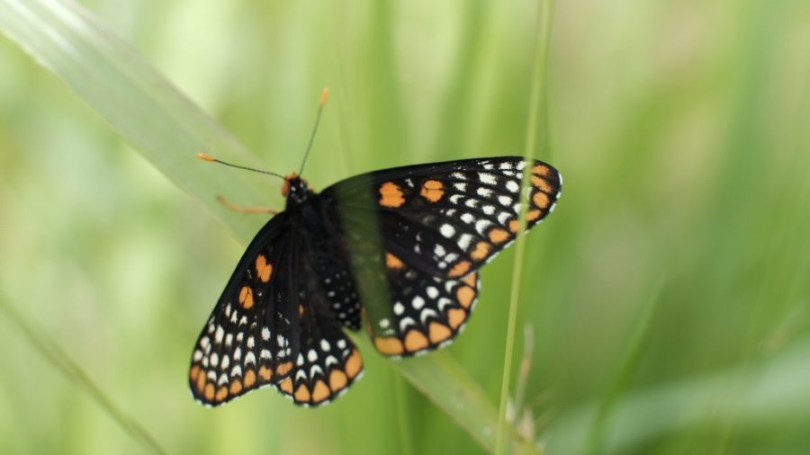 Checkerspot butterfly at Caumsett State Park.