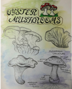 An illustration of oyster mushrooms.