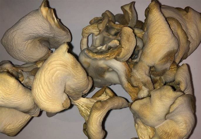 A selection of dried oyster mushroom caps .